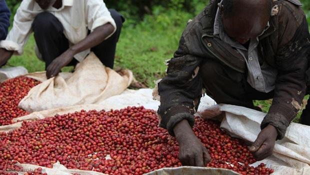 обработка кофейных зерен - работа ведётся в той же стране где и добыты ягоды